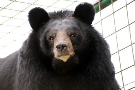 "This is Asia. She's an eight-year-old female Asiatic bear.   ""Asia is a very friendly bear and loves attention!  She welcomes"