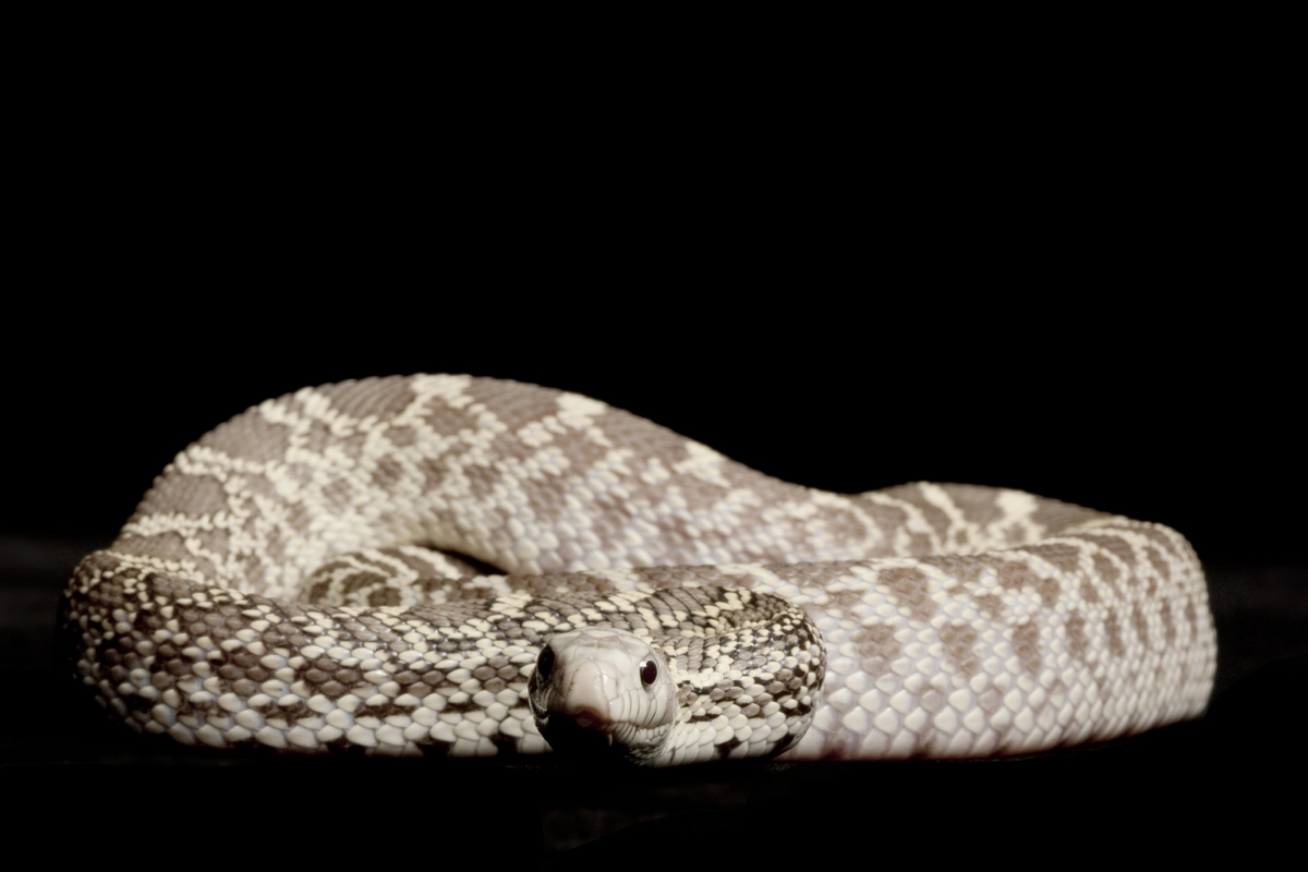 ghost bull snake  pituophis...