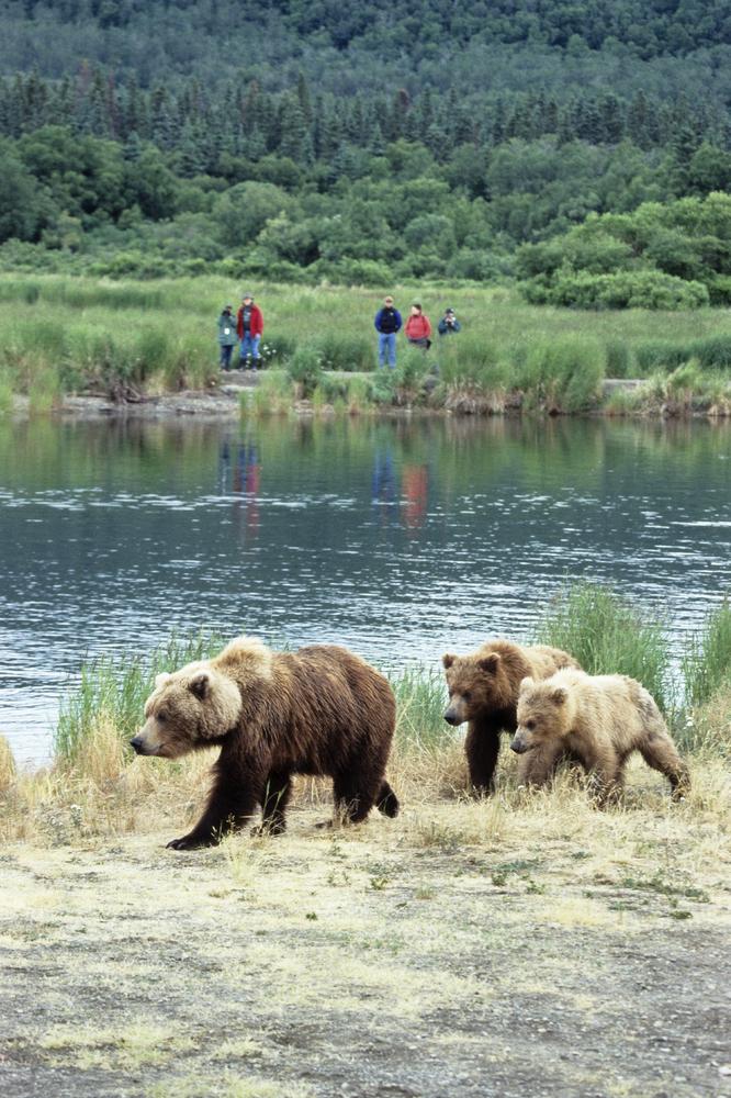 Brown Bear, Grizzly-Bear (Ursus arctos), female with cubs, tourists, Katmai National Park, Alaska