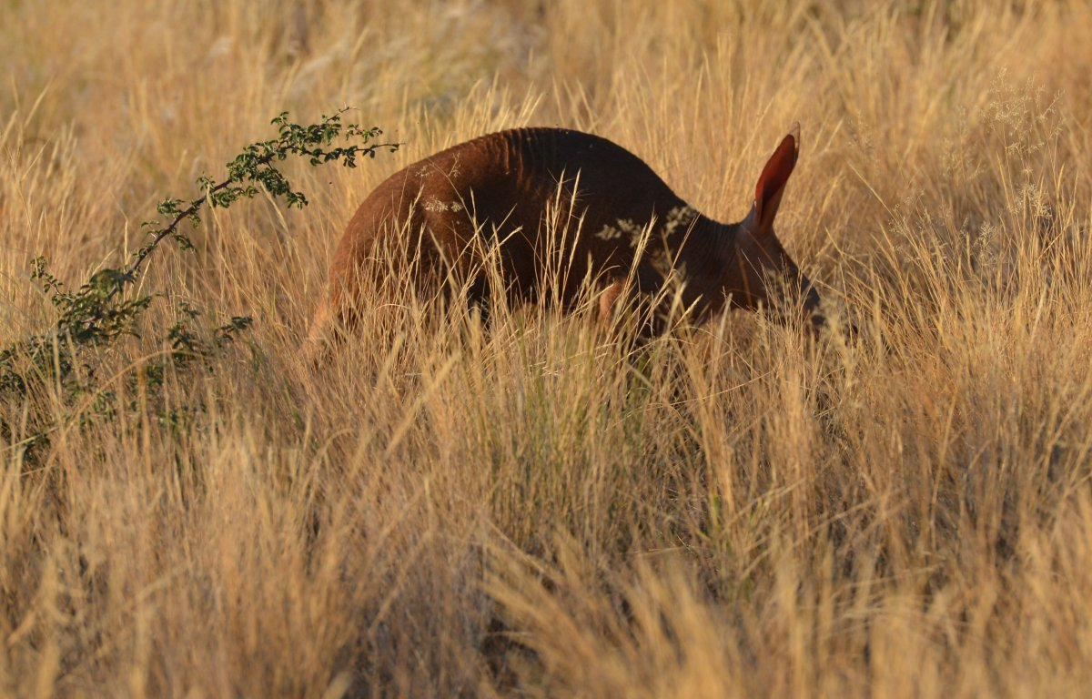 Just  ten minutes into our first drive, our expert tracker spots an aardvark, very rarely seen during daylight and one of th