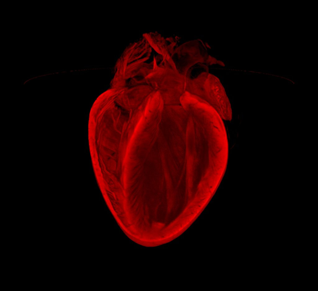 This image reveals the remarkable 3D structure of an adult mouse heart. The optical projection tomography (OPT) technique use