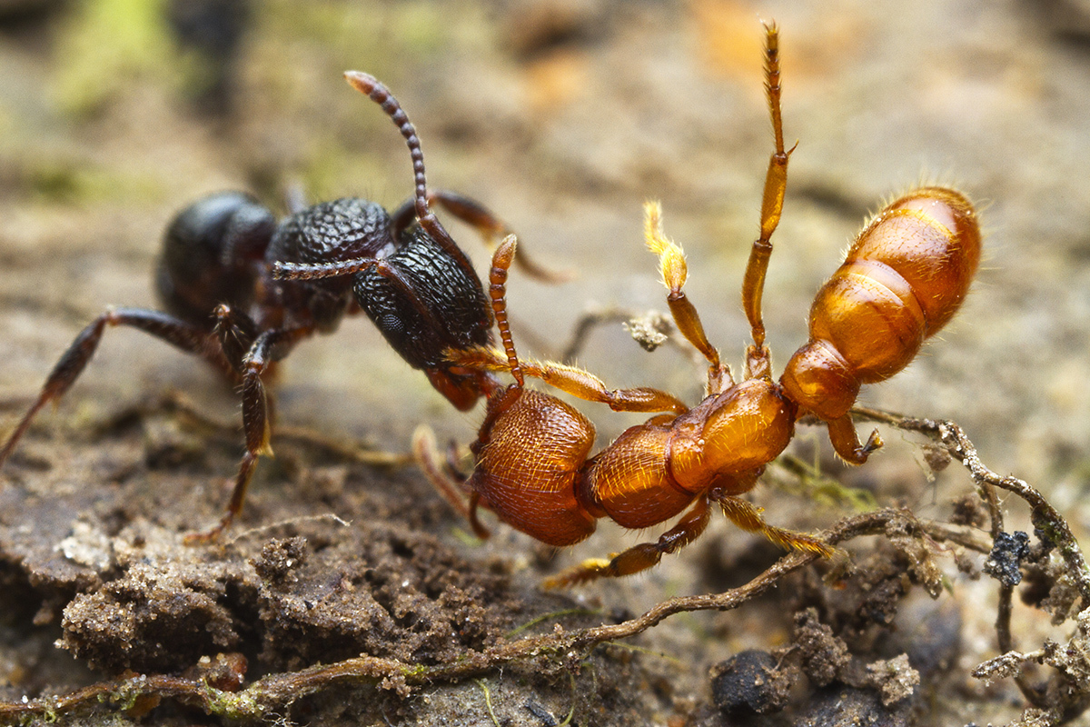 The worst enemies of ants are often other ants. Here, a <em>Rhytidoponera victoriae</em> scout (at left) has discovered a <em