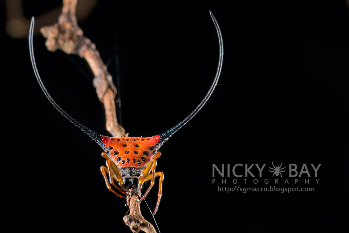 "Long Horned Orb Weaver  Macro <a href=""http://www.flickr.com/photos/nickadel/sets/72157634212989544/"">spider images </a>by <a"