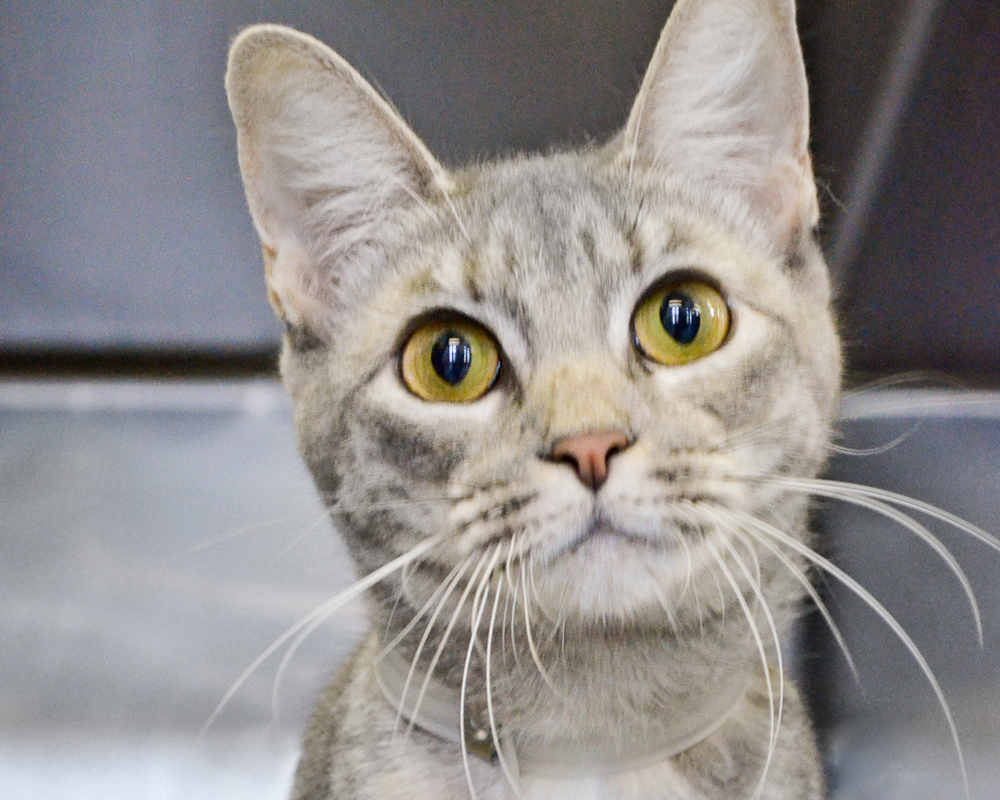 Diane is a beautiful gray girl, who came to Animal Care & Control of NYC (AC&C) when her owner went to the hospital. This fri