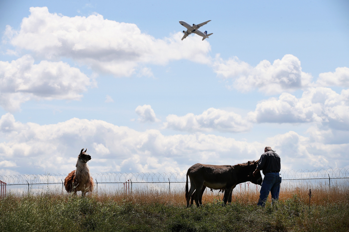 A burro and a llama graze on a two-acre plot of land at O'Hare Airport on August 13, 2013 in Chicago, Illinois. The animals a