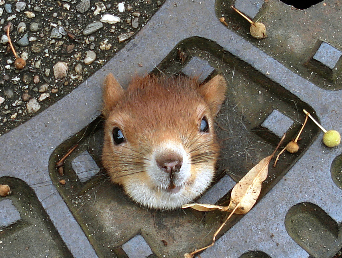 This squirrel went nuts and got his head caught in a storm drain cover; luckily a passerby used olive oil to help him free hi
