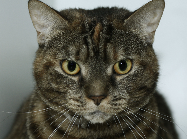 This beautiful tabby, about six years old, was surrendered by her previous owner, who reported she's friendly around children