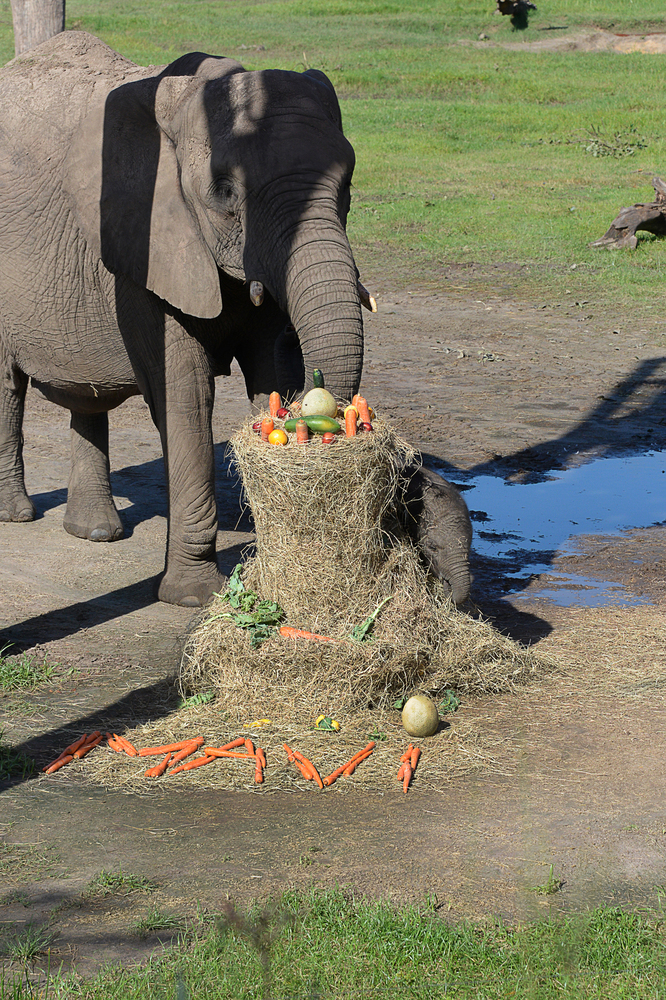 """Elephant mother Matjeka chooses the hay and food pile with the name """"Mavi"""" at the Lowry Park Zoo in Tampa, Fla. on Aug. 19, 2"""