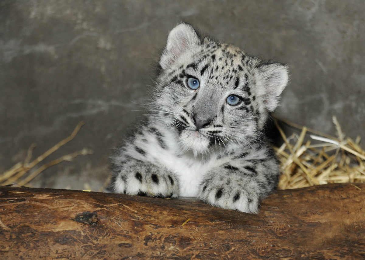A 2-month-old snow leopard cub born at Brookfield Zoo on June 13 is currently growing by leaps and bounds in an off-exhibit d