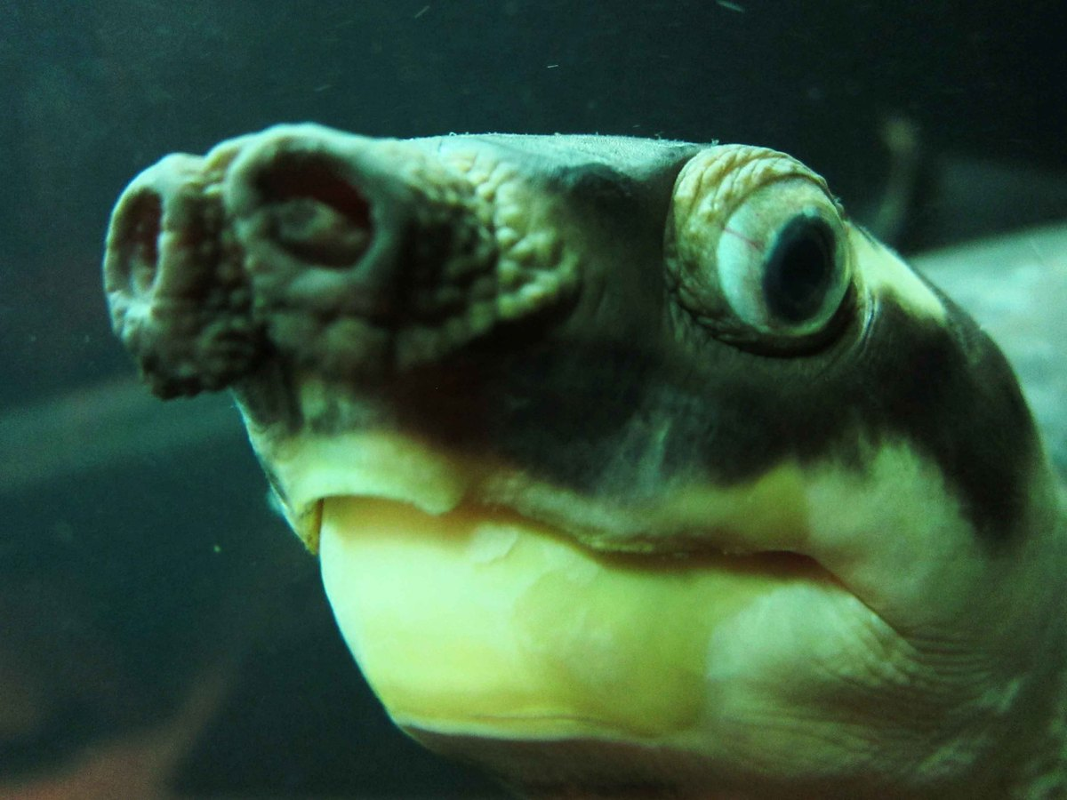 The pig-nosed turtle is the sole surviving member of an ancient and once widespread family of animals. The most unique featur