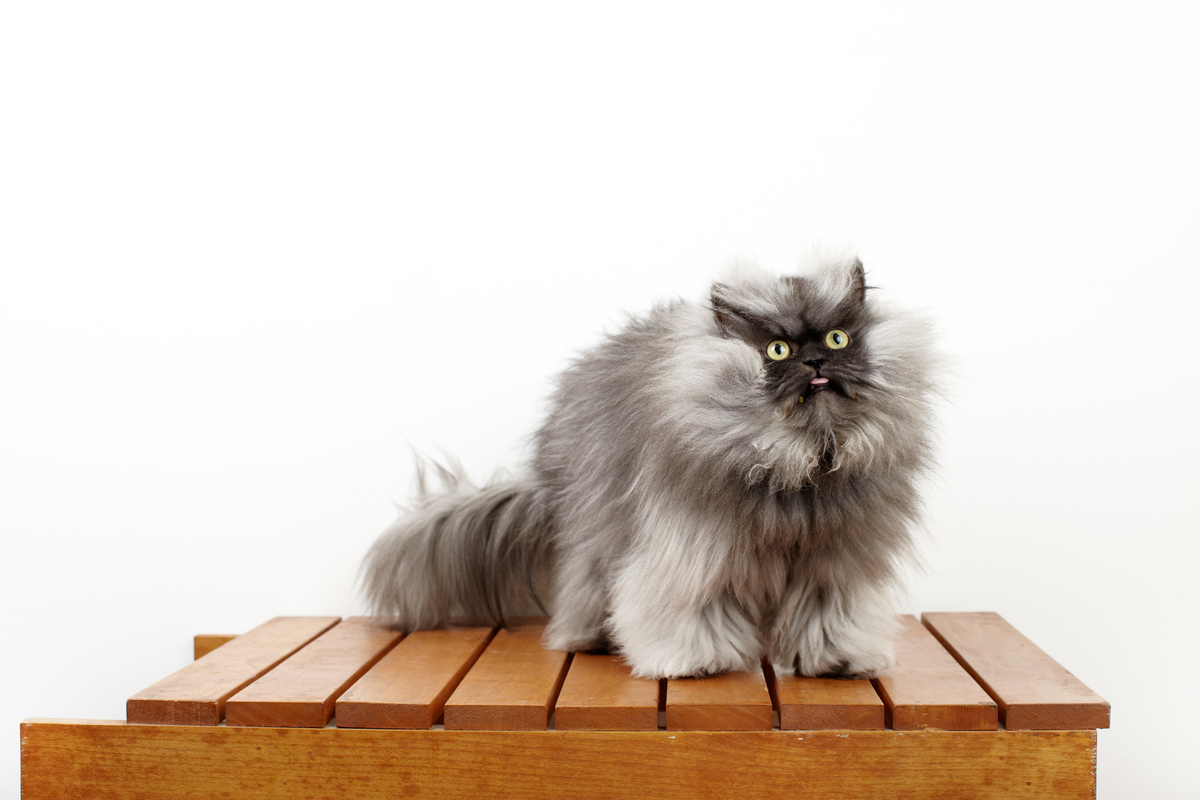 Guinness World Records has officially recognized Colonel Meow, a two-year-old Himalayan-Persian crossbreed, as the cat with t