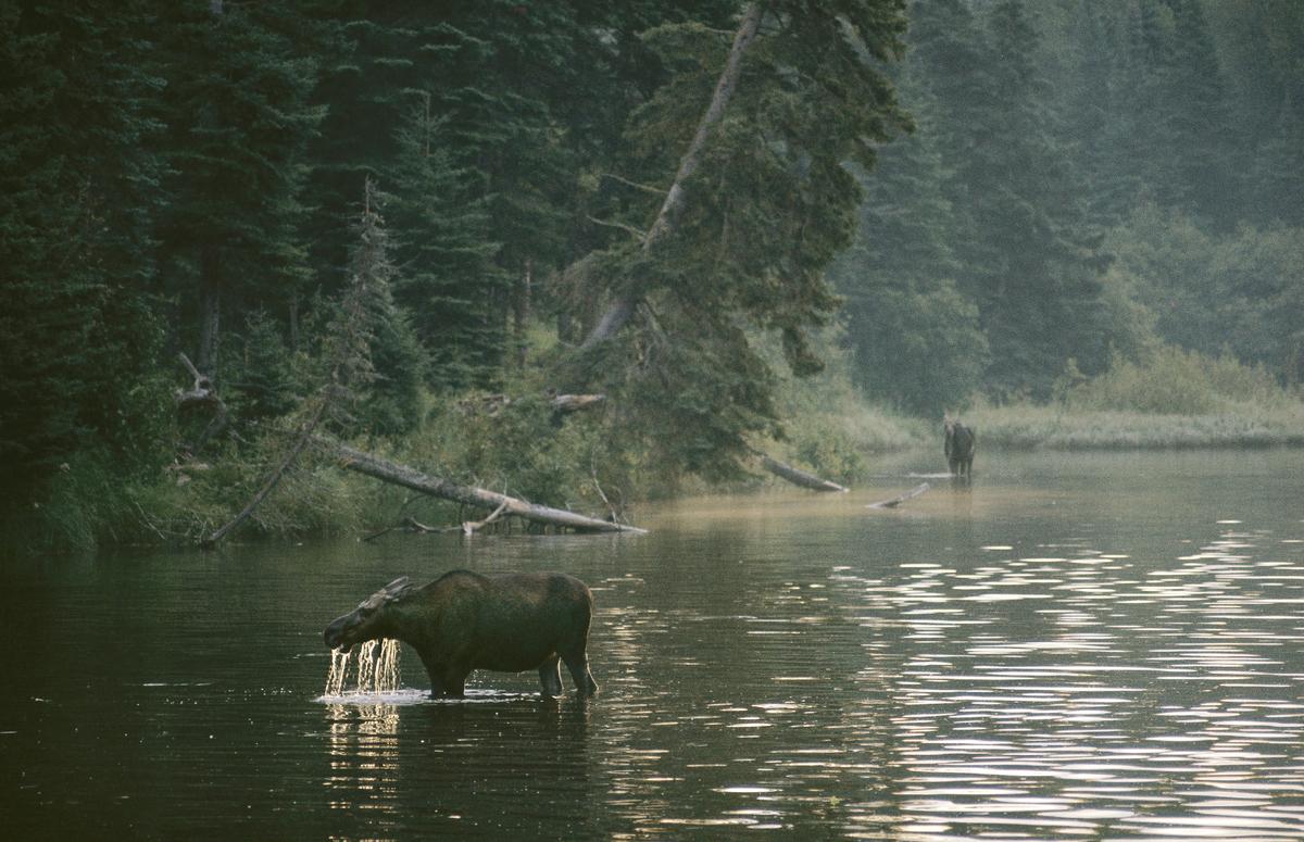 Moose on Isle Royale.
