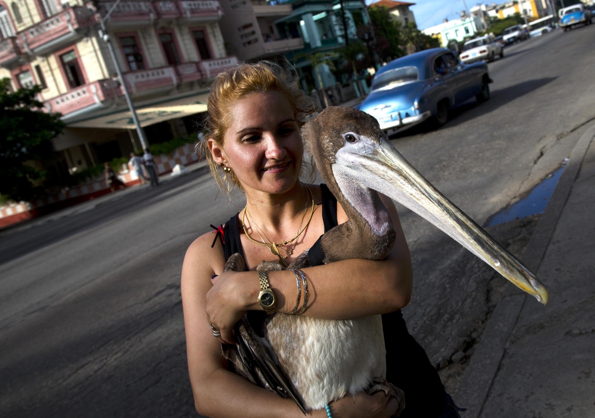 """Magela Guerrero holds Pancho the Pelican as she poses for a photo in Havana, Cuba, Thursday, Sept. 5, 2013. """"When I saw him,"""