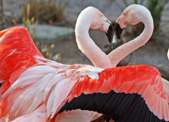 These flamingos look like they're dancing as they create a heart with their necks.