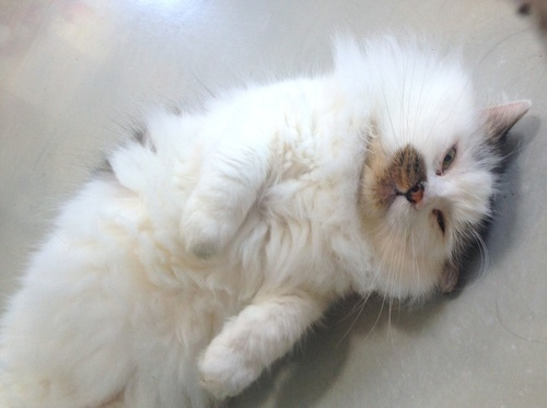 """Alaska is a domestic longhair tabby. Visit Alaska at Felines and Canines at 6379 N. Paulina St. in Chicago. <a href=""""http://w"""