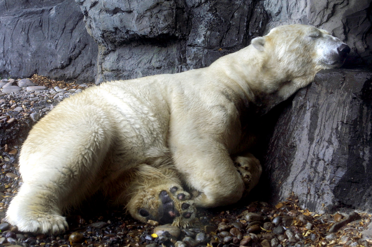 FILE - This June 28, 2002, file photo, the polar bear Gus takes a nap at Central Park Zoo in New York. The Wildlife Conservat