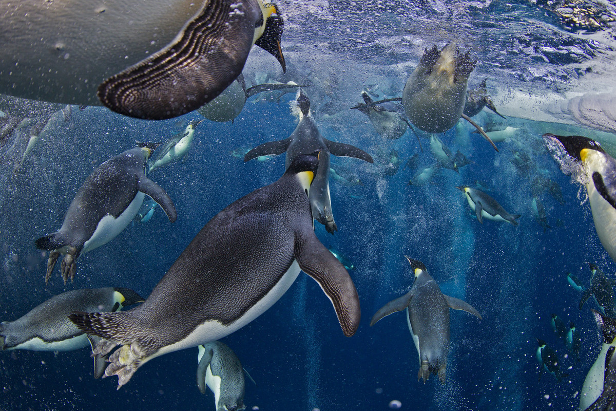 In this photo provided on Friday Feb. 15, 2013 by World Press Photo, the 1st prize Nature Stories by Paul Nicklen, Canada, fo
