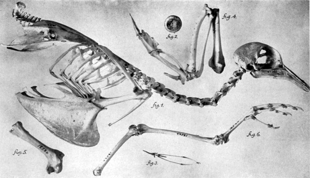 "The passenger pigeon may have once constituted 25 to 40 percent of the bird population in what is now the U.S., according to the Smithsonian Institution. As many as 3 to 5 billion of these birds were alive when Europeans arrived. The birds' traditional habitats were the large forests of eastern North America. As settlers cleared the forests for farmland, the pigeons turned to the new fields for subsistence. ""The large flocks of passenger pigeons often caused serious damage to the crops, and the farmers retaliated by shooting the birds and using them as a source of meat,"" explains the Smithsonian. The 19th century brought widespread hunting and trapping of the birds, which severely diminished their populations. The last passenger pigeon, named ""Martha,"" died at age 29 at the Cincinnati Zoo in 1914."