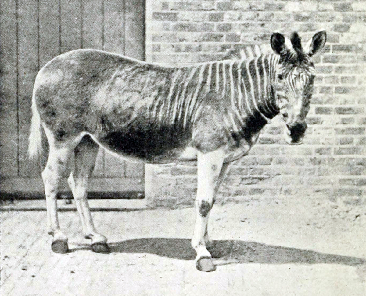 The Quagga (Equus quagga ssp. quagga) was a subspecies of the common plains zebra and a native of South Africa. Known for its unique stripes, the Quagga was hunted for its hide and killed by ranchers who believed the animals competed with livestock for grazing area, according to PBS. The last known Quagga died at the Amsterdam Zoo in 1883.