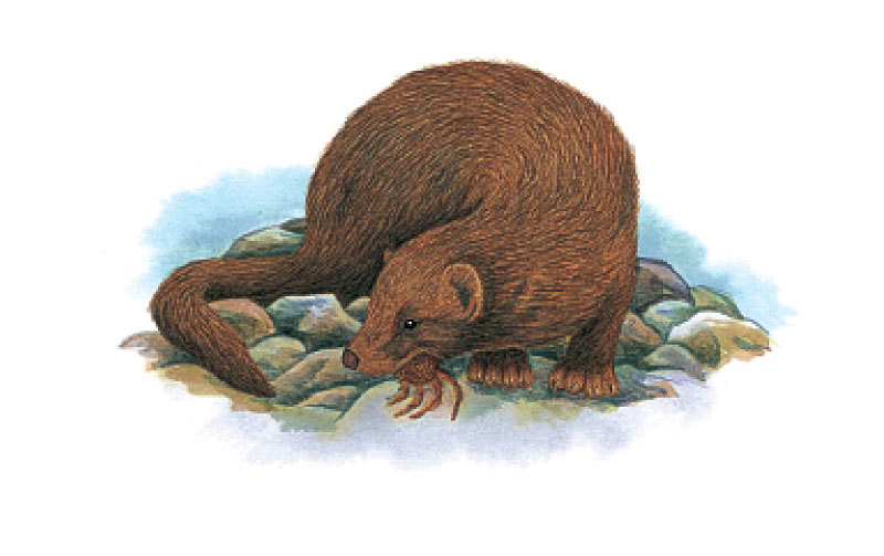 The sea mink (Neovison macrodon) once lived along the coasts of Maine and New Brunswick, but was prized for its fur and was hunted to extinction in the second half of the 19th century. (Image: New York State Museum)