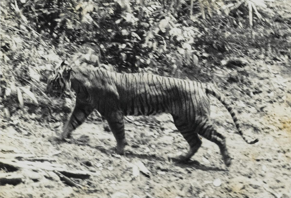"The Javan tiger (Panthera tigris ssp. sondaica) was a tiger subspecies that likely became extinct in the mid-1970s, according to the International Union for Conservation of Nature. Hunting and a loss of forest habitat led to their demise. Although the tiger was last seen in 1976, the head of East Java's Meru Betiri National Park announced in 2011 that he was ""optimistic"" that Javan tigers were still alive, according to the Jakarta Globe. Camera traps were set up in hopes of confirming any tiger sightings."