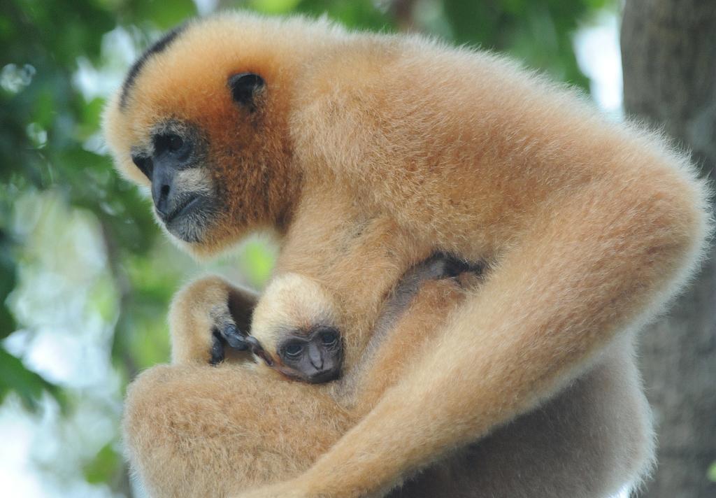 Tualang, First White-Cheeked Gibbon Baby Born At Zoo Miami ...