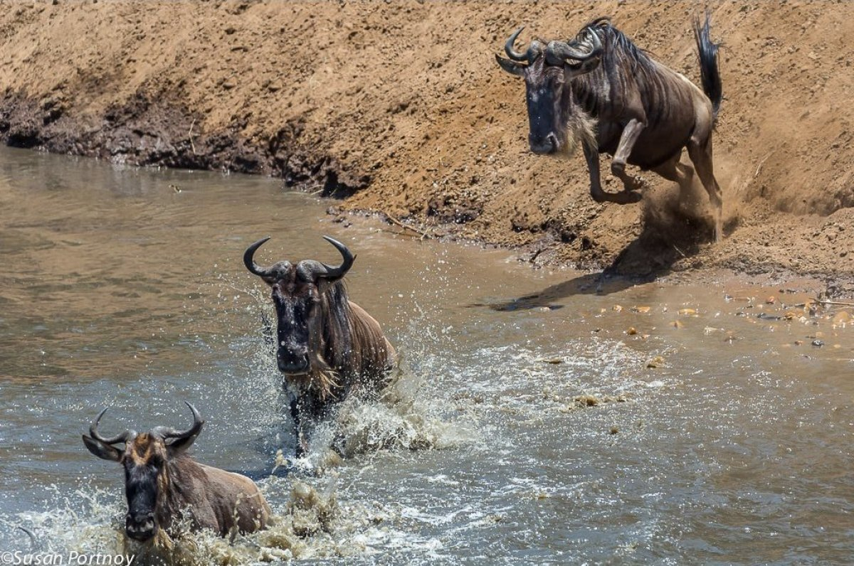 Some wildebeest chose to walk calmly into the Mara River, while others would leap as if their fur was on fire.   Visit ww