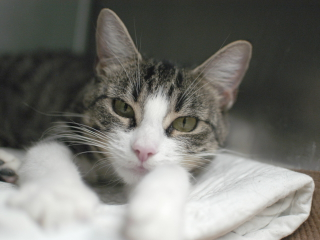 Open your heart to this sassy and beautiful kitty. Madonna is a true ray of light! She is a bit shy at first, but once this l