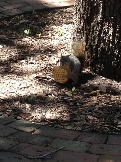 """Rice <a href=""""http://ricesquirrels.tumblr.com/"""" target=""""_blank"""">glorifies</a> their squirrel population. Some of them are rep"""