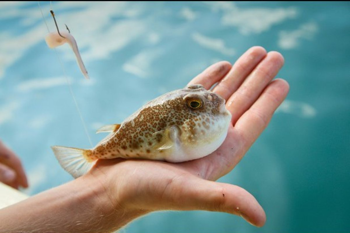 The Japanese blowfish, fugu, is highly toxic, and can easily be fatal if prepared wrong. Despite this (or perhaps because of