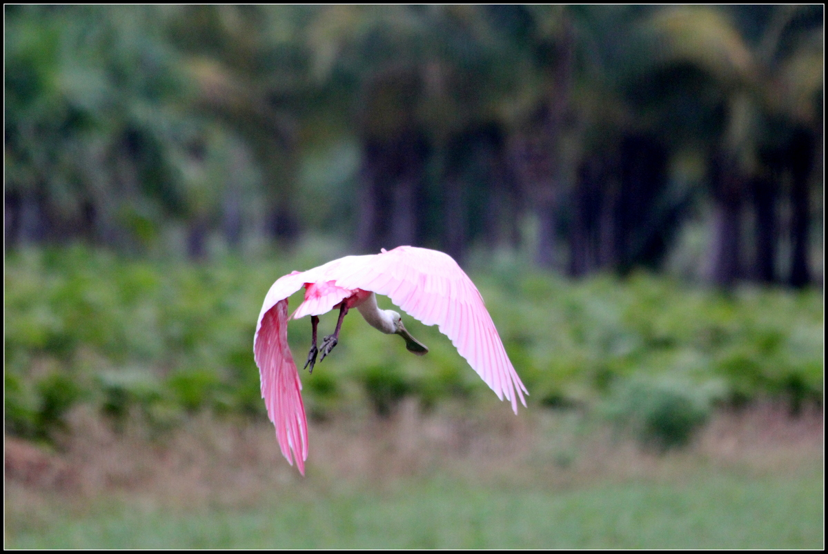 The gorgeous Roseate Spoonbill hit a period of decline when its wings became a popular item for fans and hats in the 1800s.