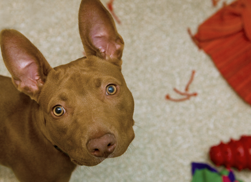 Mariposa is a friendly, exuberant 1-year-old pit bull terrier/Pharaoh hound mix. She adores people; in fact, getting a pictur