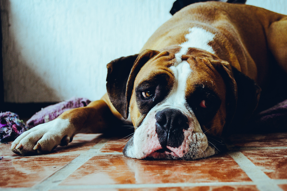 Sometimes dogs get into things they shouldn't. Hydrogen peroxide can make them vomit quickly, allowing you to get them to tre