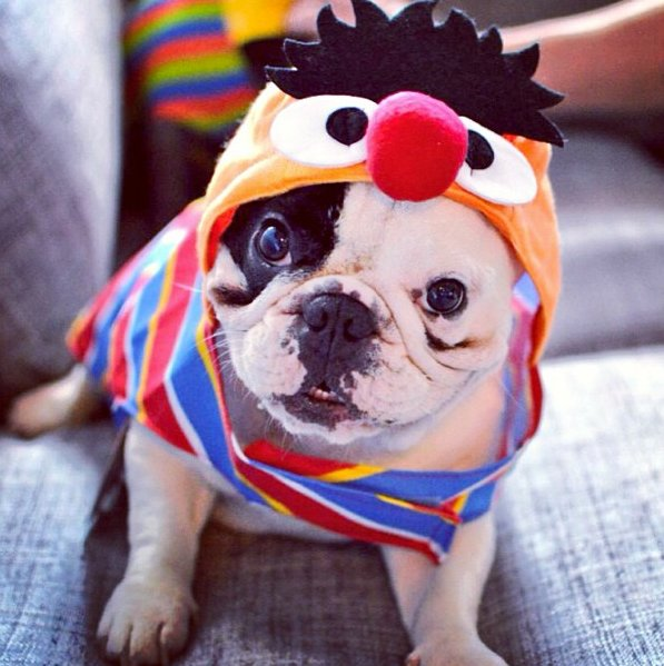"<a href=""http://instagram.com/p/eXxbQaQzgn/"" target=""_blank"">Manny the Frenchie</a> as Sesame Street's Ernie."