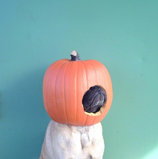 "<a href=""http://instagram.com/p/elB_53Cg2n/"" target=""_blank"">Jeremy Veach's pug</a> is all pumpkin-ed out."
