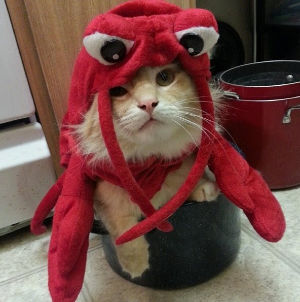 "Nom nom. <a href=""http://instagram.com/p/fOrfawlUV1/"" target=""_blank"">Lobster cat</a>."