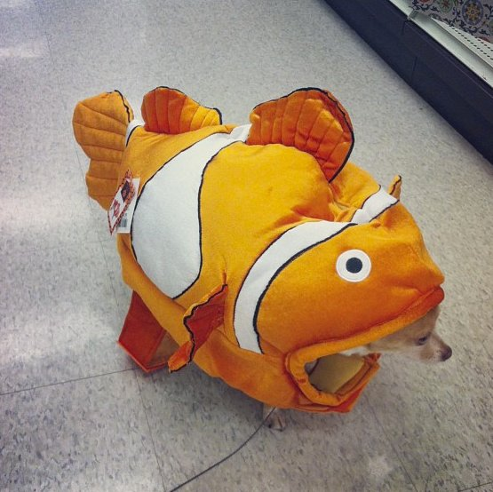 "What happens when <a href=""http://instagram.com/p/fBe6OJAriv/"" target=""_blank"">chihuahuas and clownfish collide</a>?"