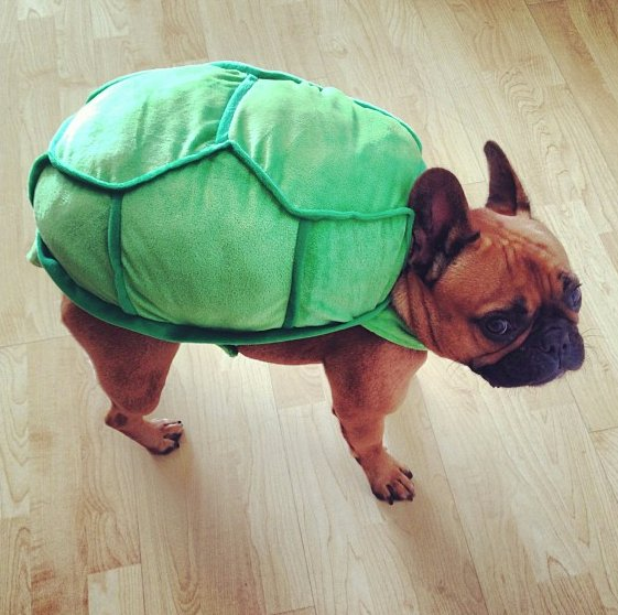 """<a href=""http://instagram.com/p/fYmdU2GwKC/"" target=""_blank"">Teenage Mutant Ninja Frenchie</a>"""