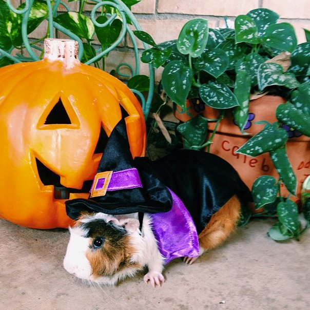 "Now that's <a href=""http://instagram.com/p/fJRY67QKdK/"" target=""_blank"">one magical guinea pig</a>."
