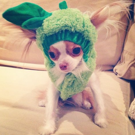"<a href=""http://instagram.com/p/fcrnWWKoXT/"" target=""_blank"">Roux the chihuahua</a> is one sweet pea!"
