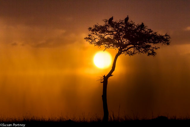 Two vultures, perched high on an acacia, watch the sun set on the Masai Mara  -Susan Portnoy