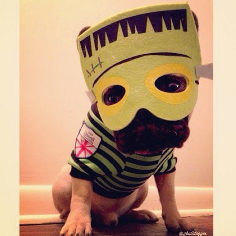 """This <a href=""""http://instagram.com/p/fUuMvRAxiH/"""" target=""""_blank"""">French bulldog</a> is monstrously cute."""