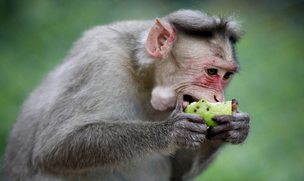 In this Saturday, Oct. 19, 2013 photo, a monkey eats a guava inside the zoo of Bannerghatta National Park, about 25 kilometer