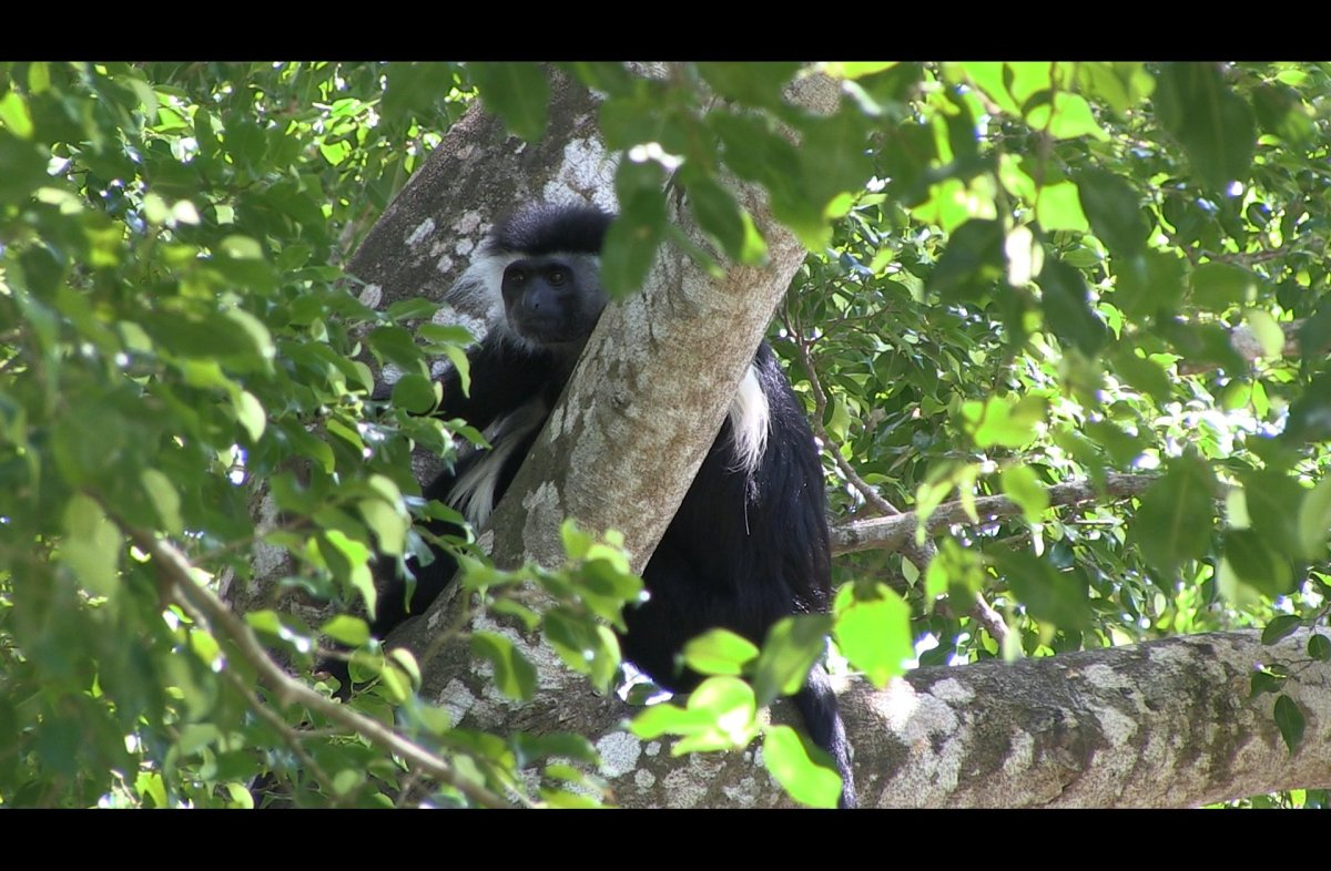 <em>Colobus angolensis</em> is known as the Angolan Black and White Colobus Monkey however they are found in several differen