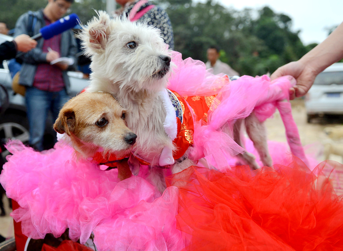 Groom dog Guaiguai, top, and bride dog Lanlan are on their way to an animal hospital to attend their wedding in Chengdu city,