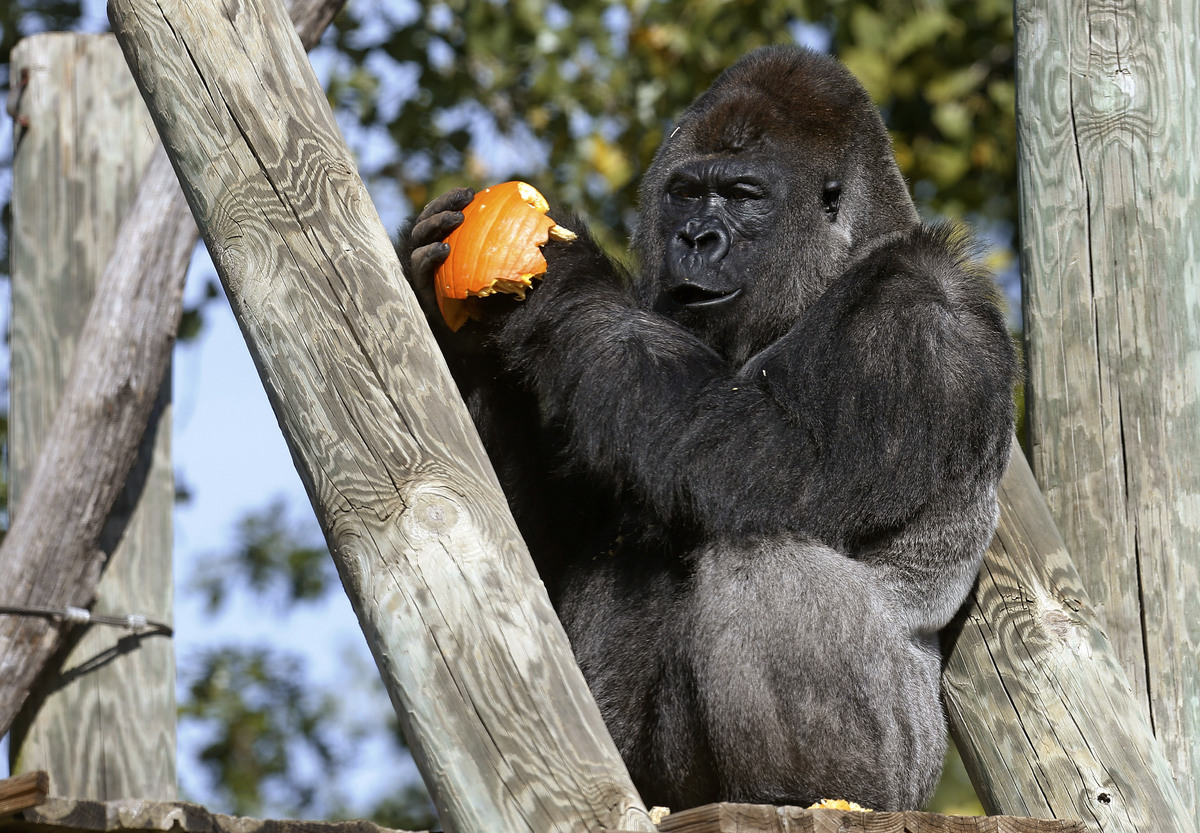 A silverback gorilla appears to be smiling as he eats a Halloween treat during an enrichment program at the Oklahoma City Zoo