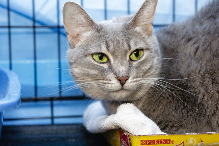 Our emerald-eyed darling Mekai is around 8 years young and came to King Street Cats with her mom Mimi.  They would like to fi