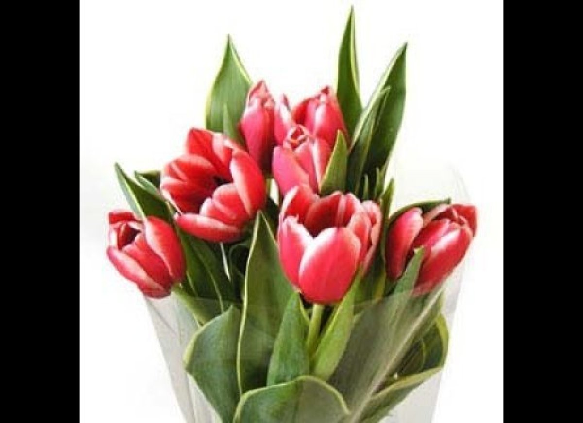Red and white bi-color tulips