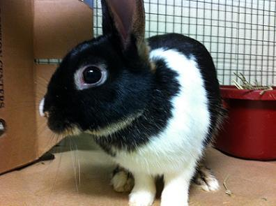 """A volunteer describes Flavio as """"a medium-sized young tricolor Dutch mix.  This guy wants to come out and play!  He has the e"""