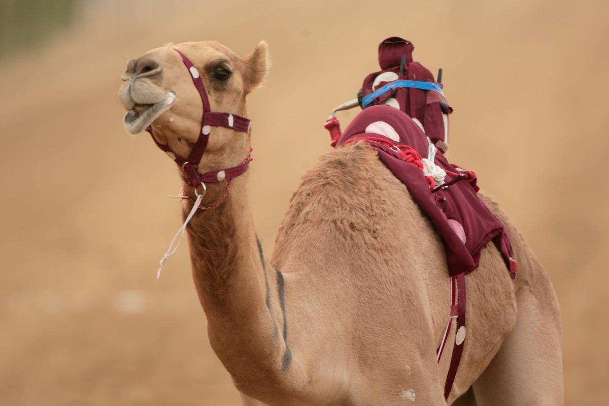 A robotic jockey whips a camel at Dubai Camel Racing Club during the Al Marmoum camel racing season on November 17, 2013 in D